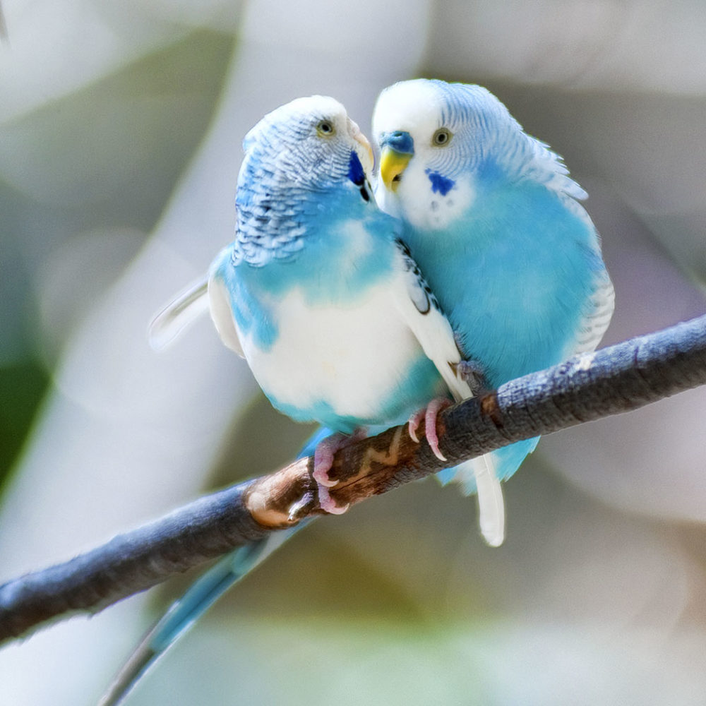 Two budgies on a tree branch