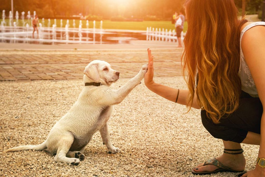 Golden lab puppy high-fiving its owner